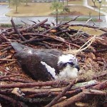 Osprey Webcam in Orange Beach