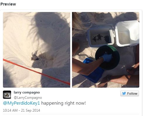 Sea Turtle Hatchlings - Perdido Key